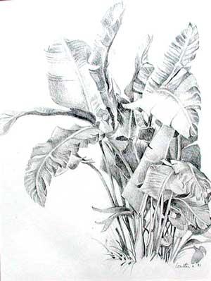 香蕉树——铅笔画